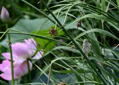 オオヨシキリ幼鳥8414