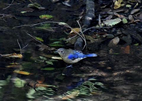 オオルリ幼鳥♂8303