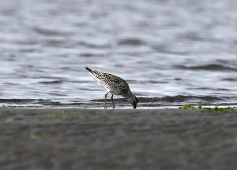 オバシギ幼鳥4609