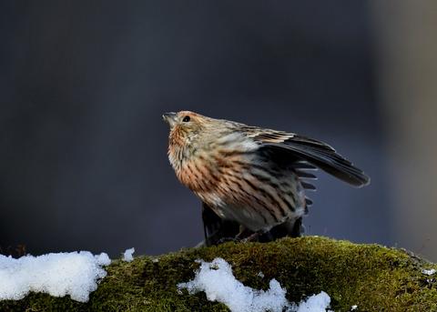 オオマシコ若鳥9566