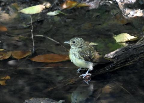 キビタキ幼鳥3494