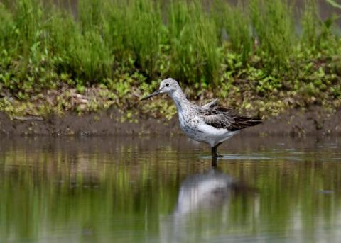 アオアシシギ幼鳥2765