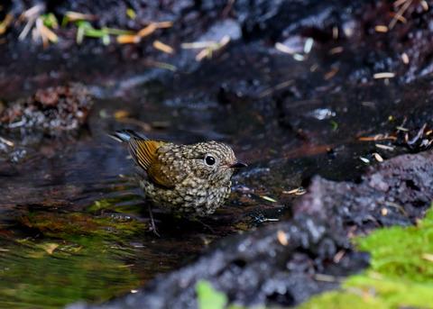 ルリビタキ幼鳥3052