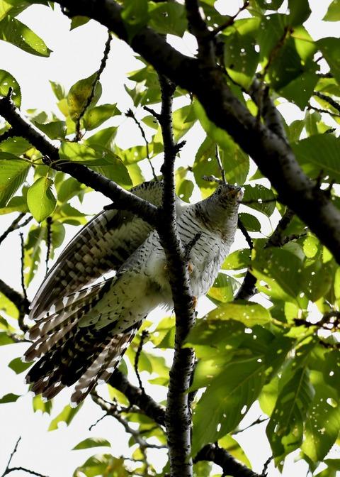 ツツドリ幼鳥5676