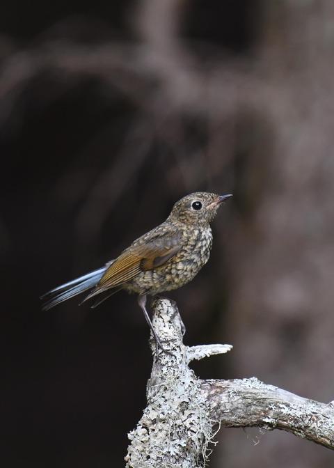 ルリビタキ幼鳥1717