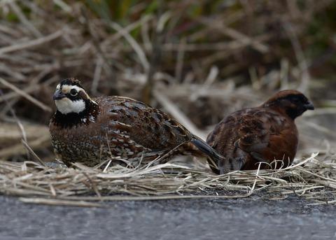 コリンウズラ♂&若鳥5360