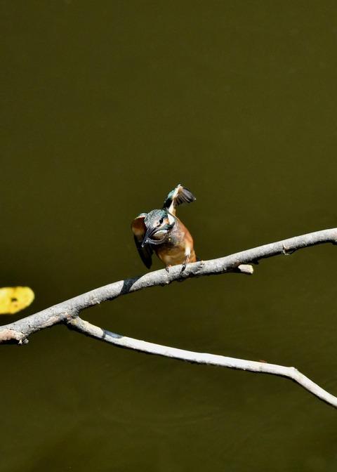 カワセミ若鳥5162