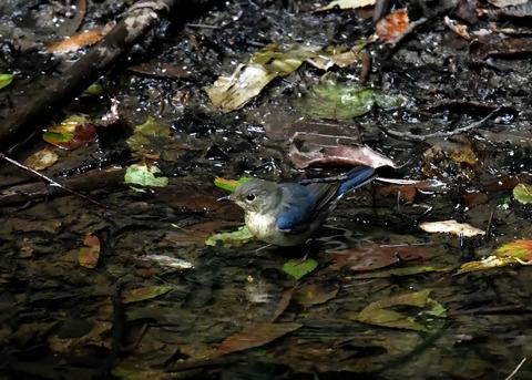 コルリ♂幼鳥4085