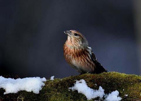 オオマシコ若鳥9584