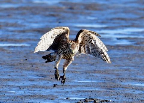 オオタカ若鳥0835