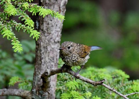 ルリビタキ幼鳥3049