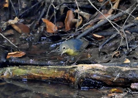 コルリ♂幼鳥2634