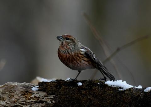 オオマシコ若鳥9619