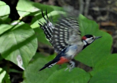 アカゲラ♂幼鳥3027