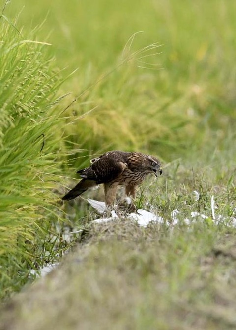 オオタカ若鳥3192