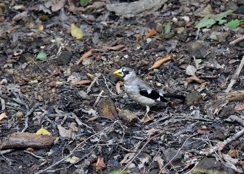イカル幼鳥9502