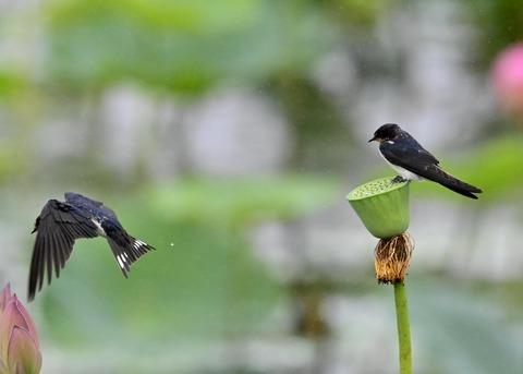 ツバメ幼鳥7482-01