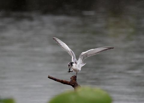 クロハラアジサシ幼鳥1848