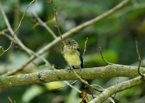オオルリ♂若鳥0455