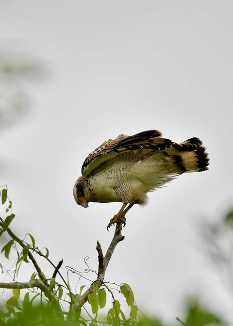 カンムリワシ若鳥6553