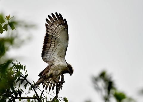 カンムリワシ若鳥6545