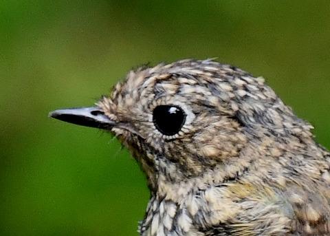 ルリビタキ幼鳥3365