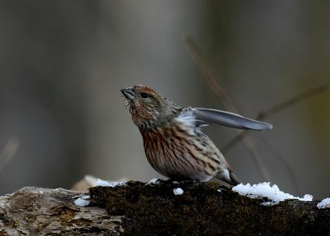 オオマシコ若鳥9604