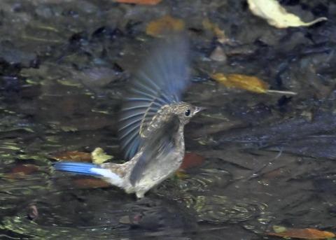 オオルリ♂幼鳥4376