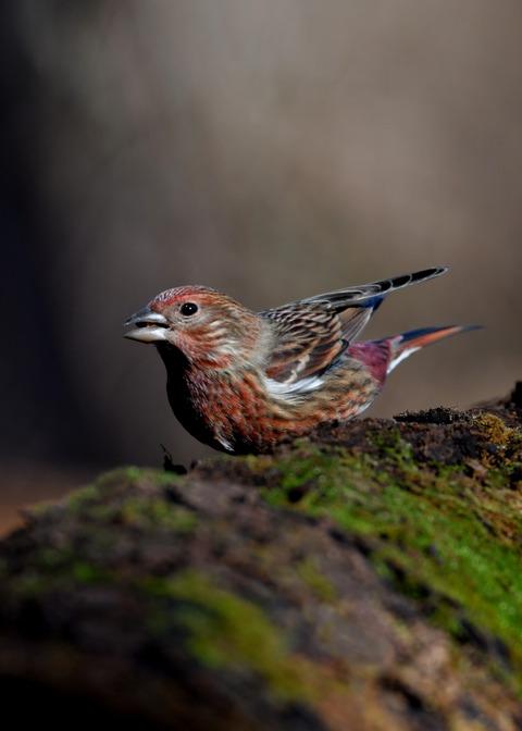 オオマシコ若鳥0731