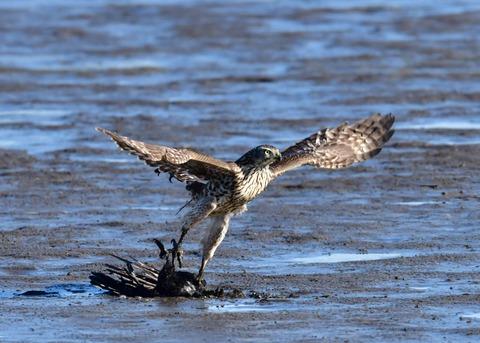 オオタカ若鳥0594