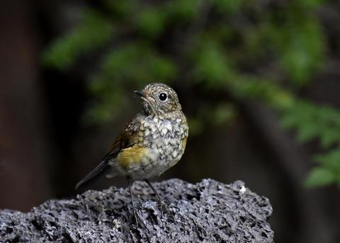 ルリビタキ幼鳥0987