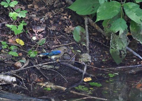 オオルリ♂幼鳥4127