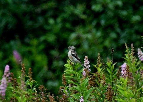 ノビタキ幼鳥2249