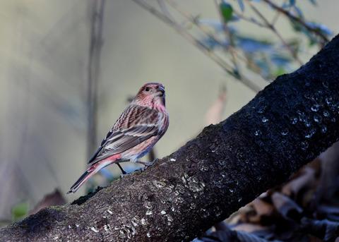 オオマシコ若鳥9197