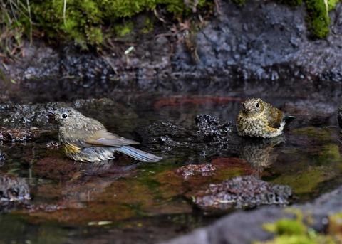 ルリビタキ幼鳥1295