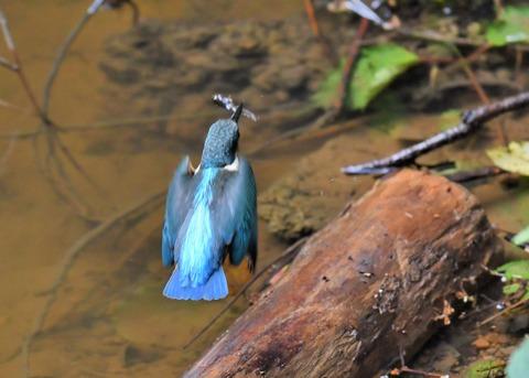 カワセミ若鳥4124