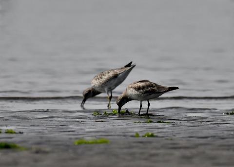 コオバシギ幼鳥4259