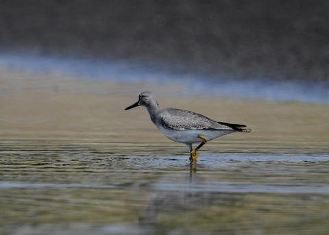 キアシシギ幼鳥9132