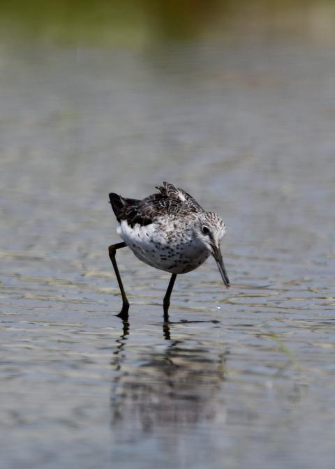 アオアシシギ幼鳥2794