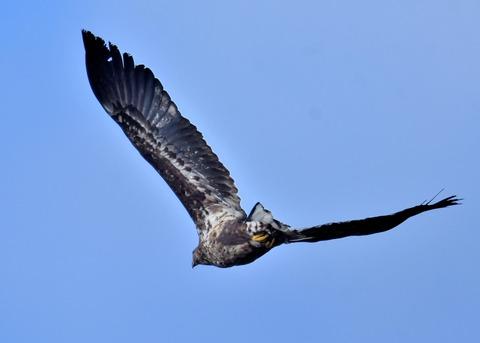 オジロワシ若鳥9297