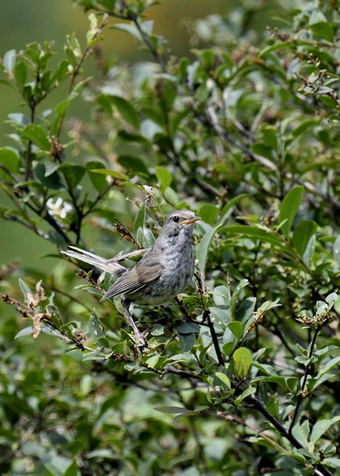 ウグイス幼鳥2500
