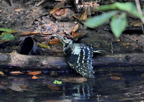 アカゲラ♂幼鳥3645