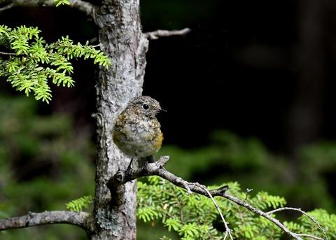 ルリビタキ幼鳥7195