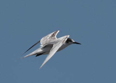 飛ぶ・コアジサシ2277
