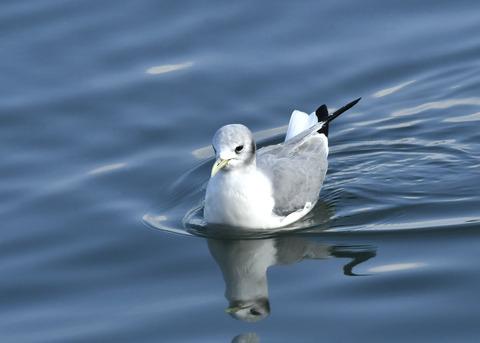 ミツユビカモメ成鳥4923