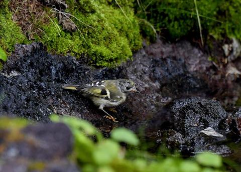 キクイタダキ幼鳥2834