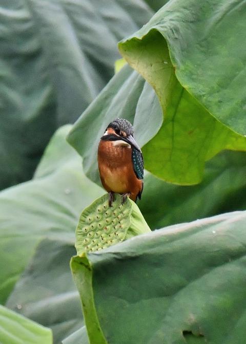 カワセミ幼鳥2206