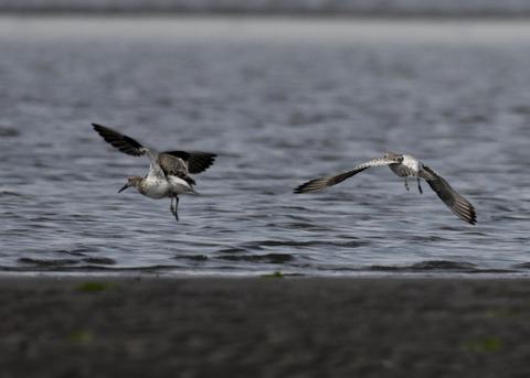 飛ぶ・オバシギ幼鳥4615