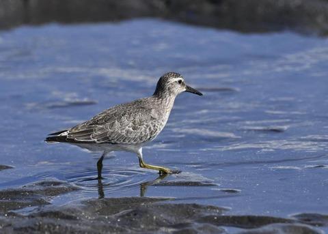 コオバシギ幼鳥0242