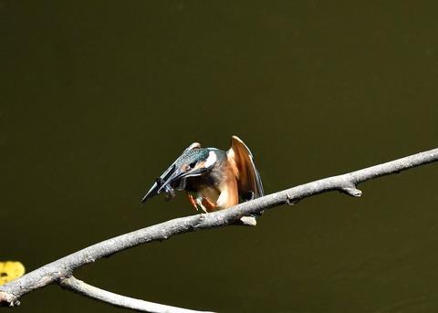 カワセミ若鳥5161